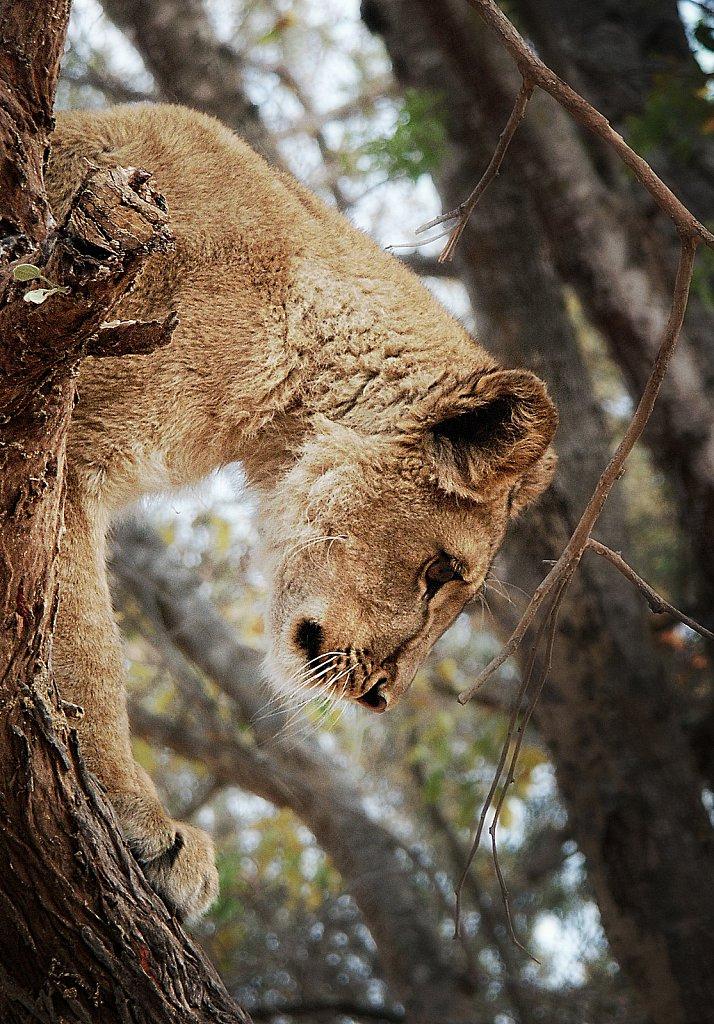 Jeune lionne. (Zimbabwe)