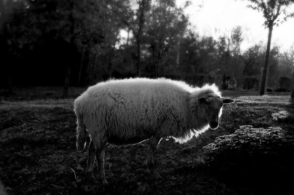 Mouton en contre-jour.